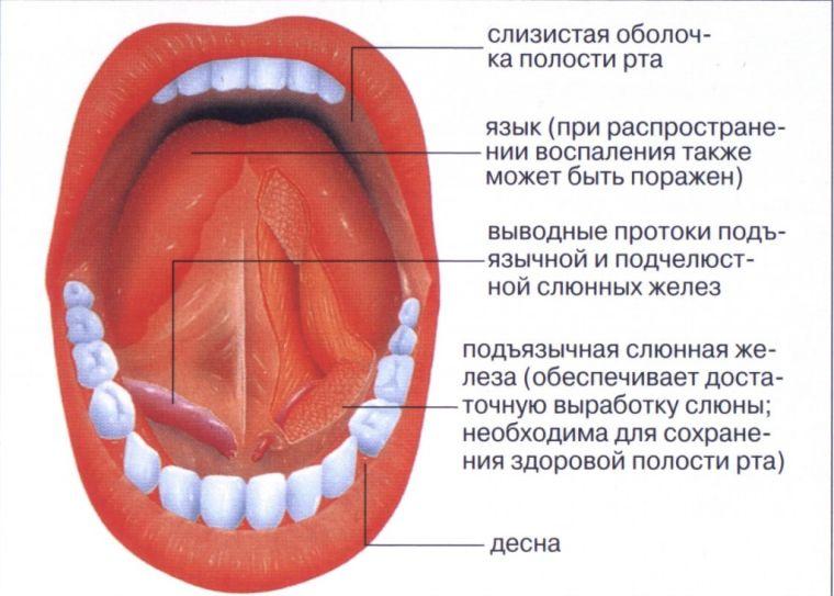 анатомия слизистой