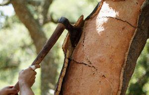 заготовка коры дубовой