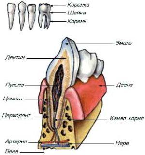 зуб строение
