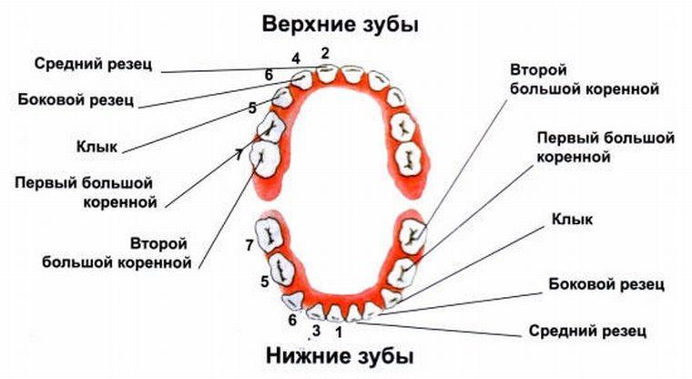 Расположение зубов в полости рта