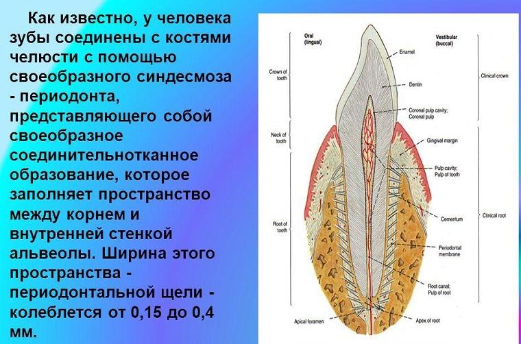 Ткани периодонта