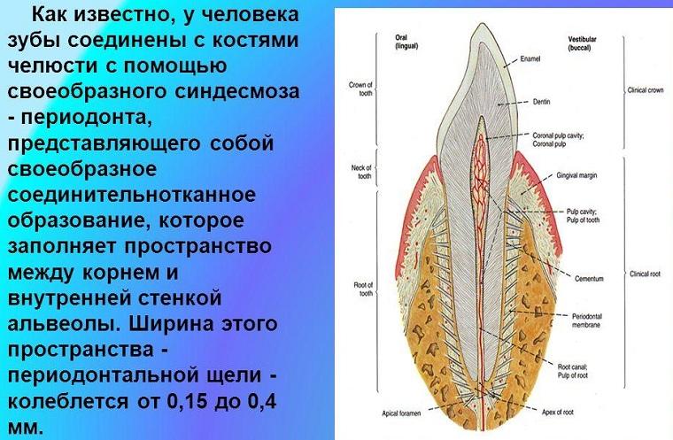 Строение периодонта