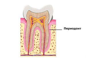 Связки зуба