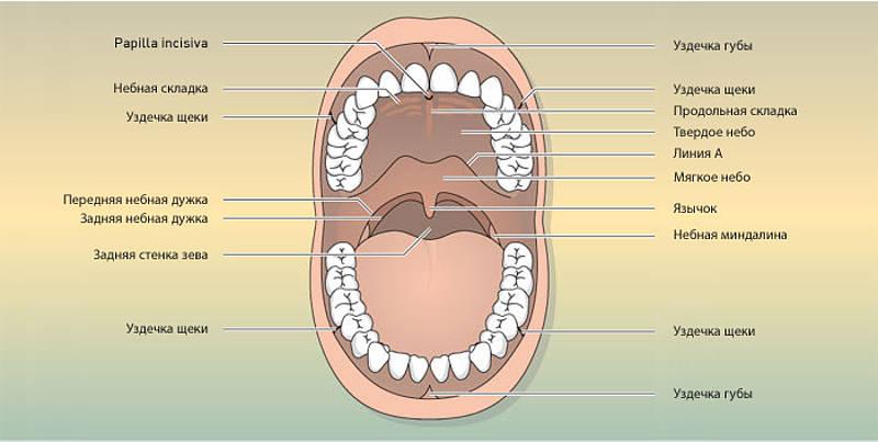 Слизистая рта
