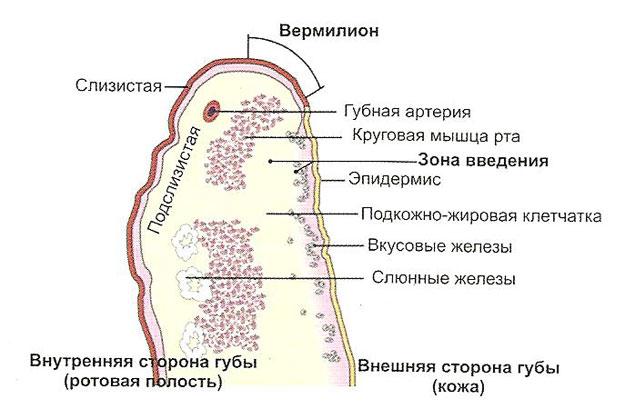 Строение губы
