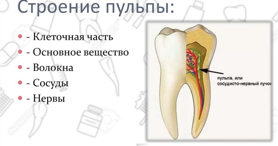 Строение пульпы зуба