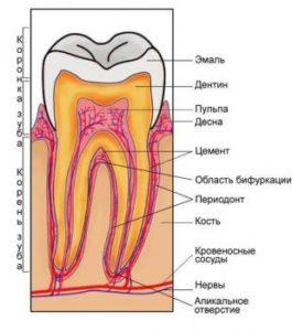 Цемент зуба