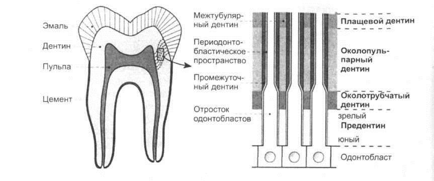 Виды дентина