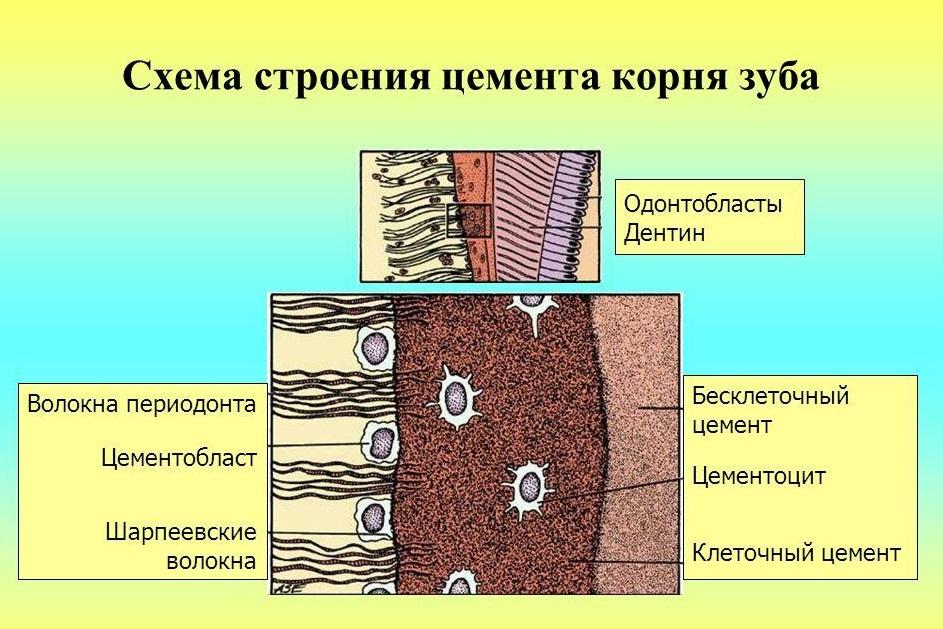 Цемент корня