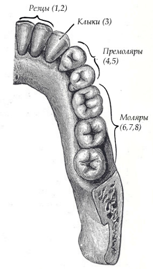 Зубной ряд взрослого