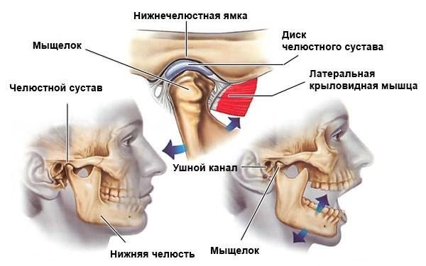 Строение челюстного сустава подробно