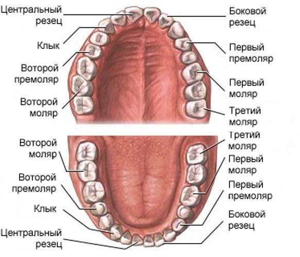 Виды и названия зубов