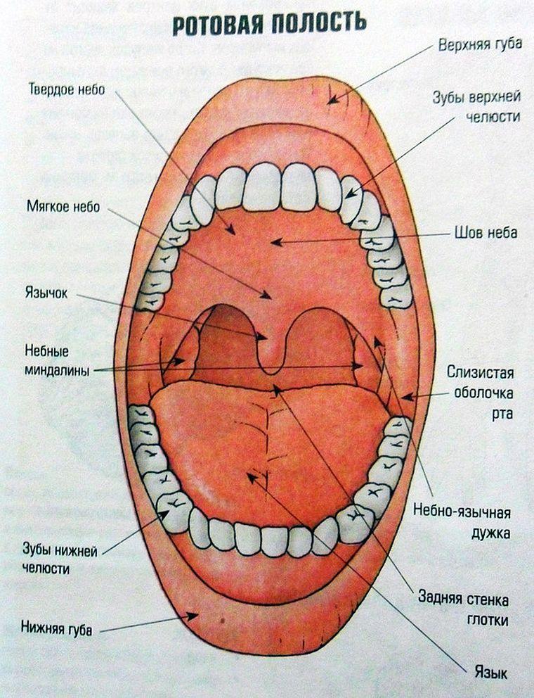 анатомия ротовой полости