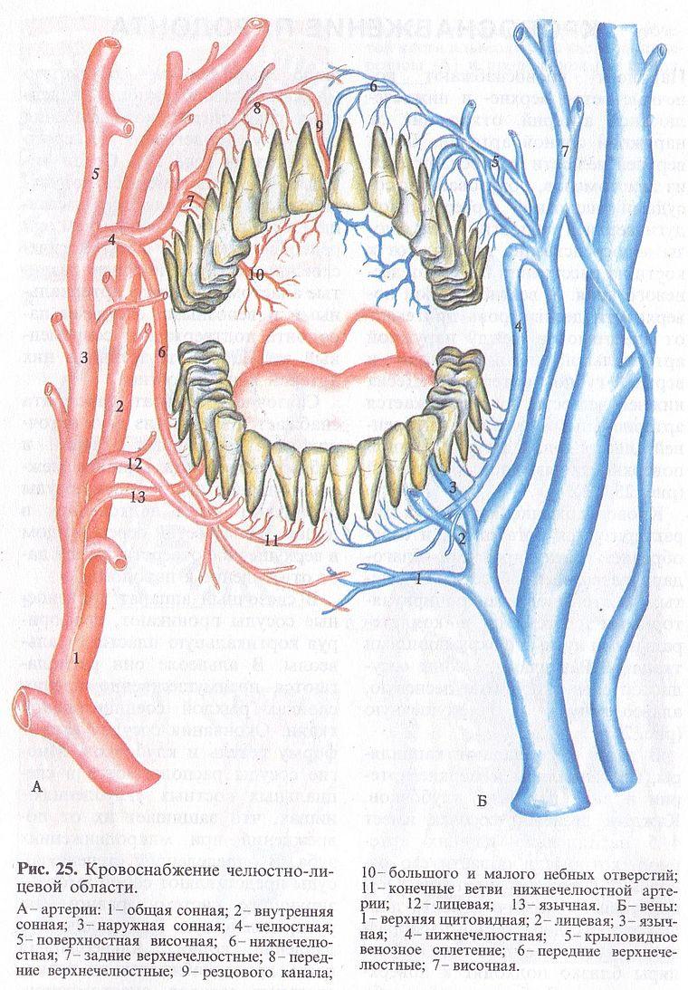 кровеносная система полости рта