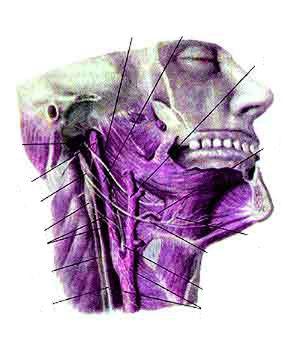 Боли в области языкоглоточного нерва