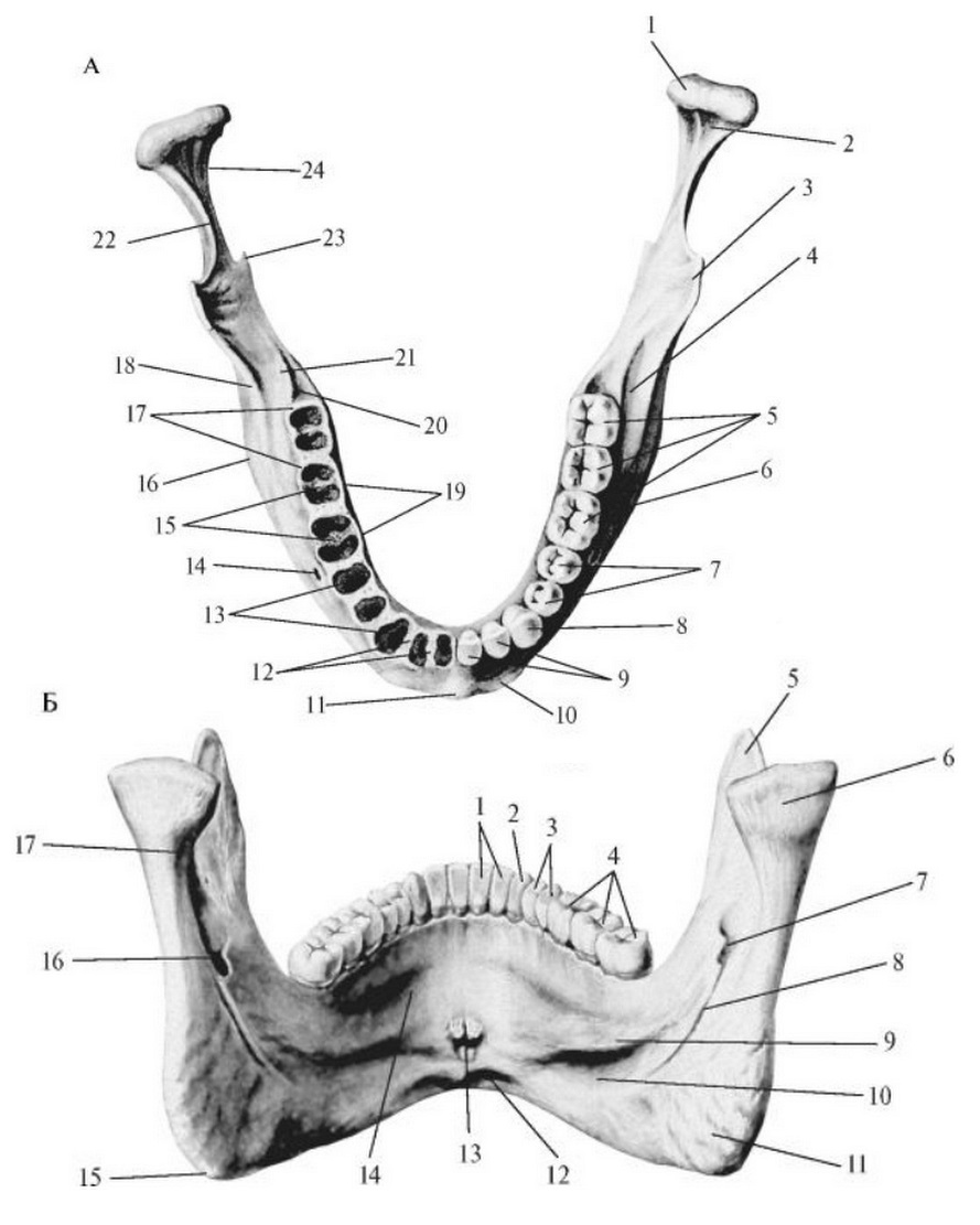 Нижняя челюсть снаружи и изнутри