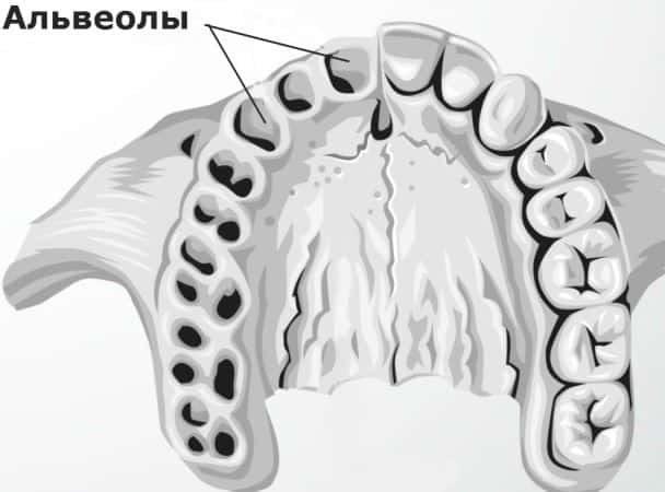 Расположение альвеол во рту