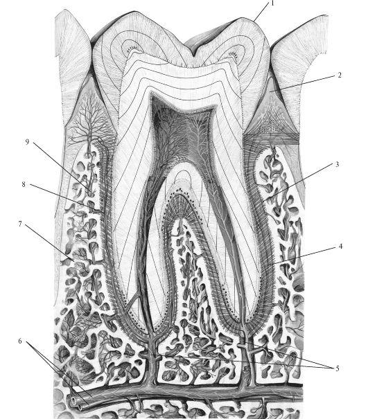 Схема строения зуба