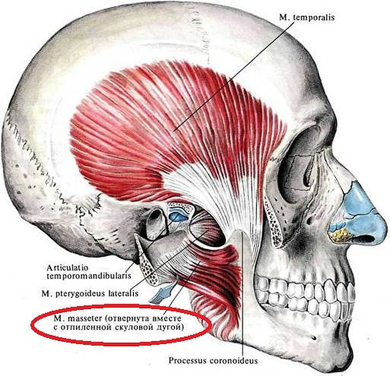 собственно жевательная мышца