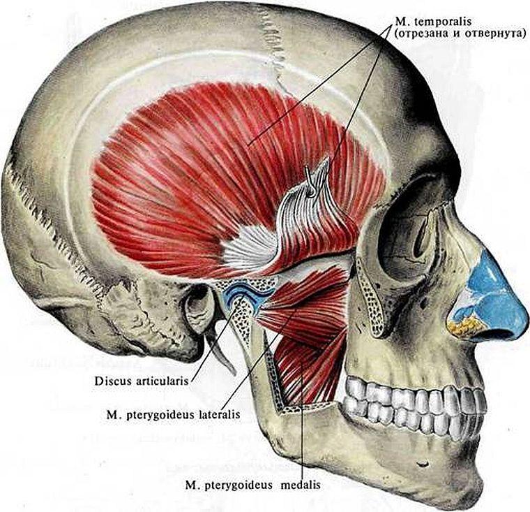 где находятся жевательные мышцы
